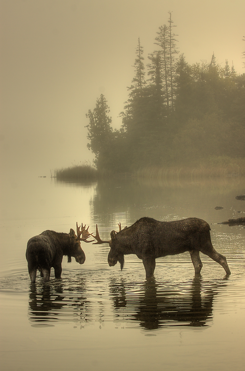 Two moose play in tranquil water