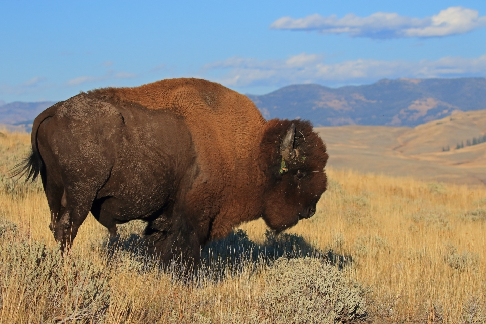A buffalo roams Yellowstone National Park